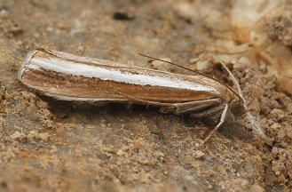 A. latistria (© Chris Steeman)