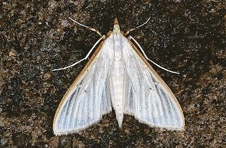 P. vitrealis (© Les Hill)