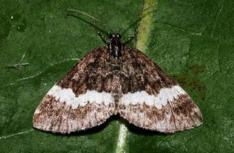 S. luctuata (© Philippe Mothiron)