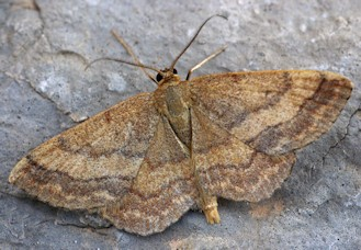 S. (Scopula) rubiginata (© Daniel Morel)