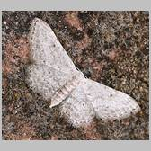 Idaea albarracina