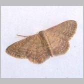 Idaea obsoletaria