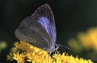 C. argiolus (© Peter Groenendijk)