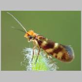 Micropterix vulturensis