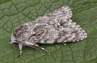 A. (Acronicta) aceris (© Les Hill)