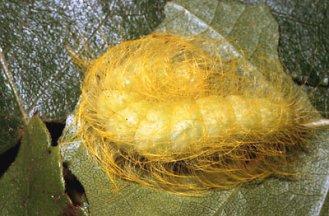 Bruco di  Euplagia quadripunctaria