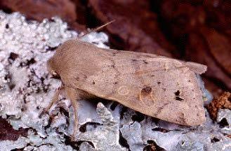 farfalla notturna (Anorthoa munda, Noctuidae)