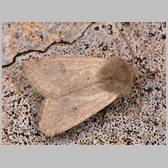 Orthosia (Monima) cruda