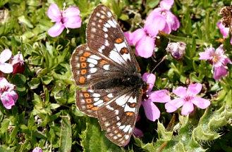 Euphydryas cynthia
