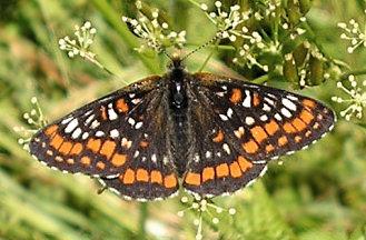 Euphydryas maturna