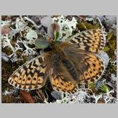 Boloria (Clossiana) polaris