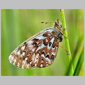 Boloria (Clossiana) freija