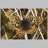 Boloria (Clossiana) frigga