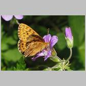 Boloria (Clossiana) thore