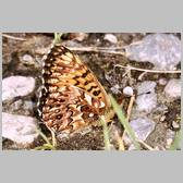 Boloria (Clossiana) titania