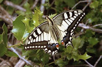 P. machaon (© Dmitry Gavryushin)