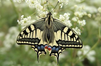 P. machaon (© Toon Verbruggen)