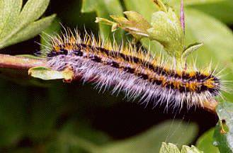 Eriogaster lanestris bruco