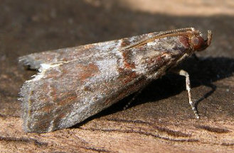 A. advenella (© Jens Christian Schou)